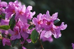 Rhododendron praecox